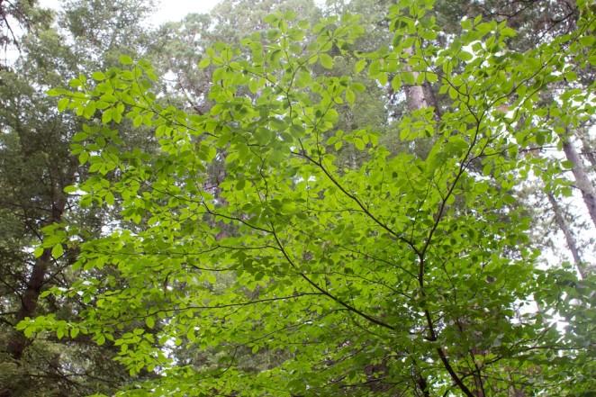 giant_sequoias 219