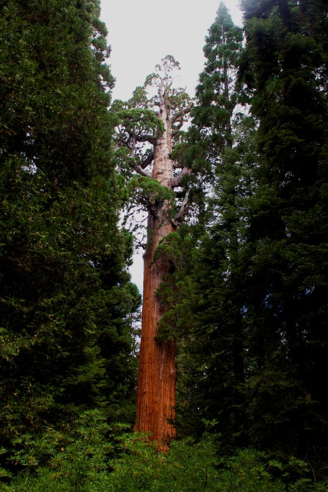 giant_sequoias 221