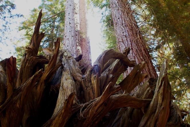 giant_sequoias 225