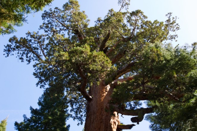 yosemite mariposa grove giant sequoias 14