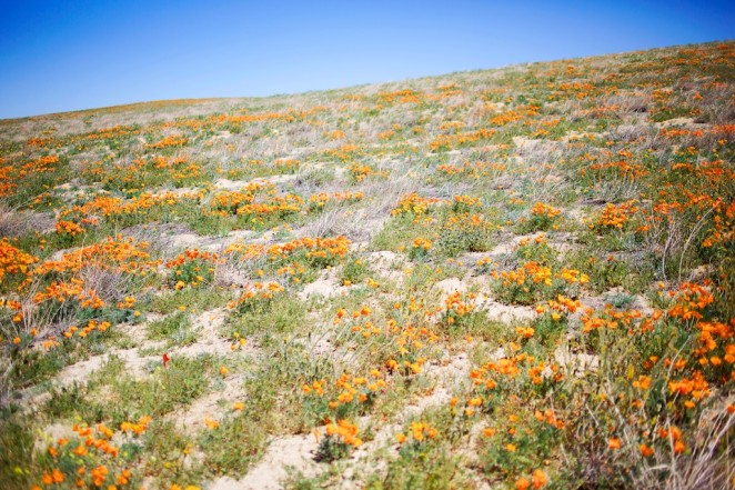 california poppy reserve 7