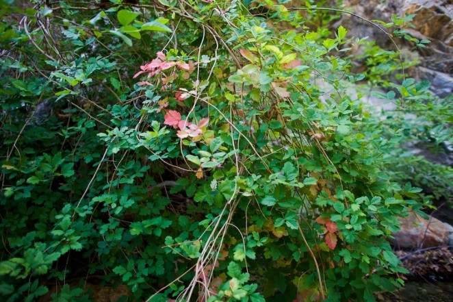 poison oak 2