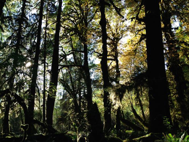 hoh rainforest-15
