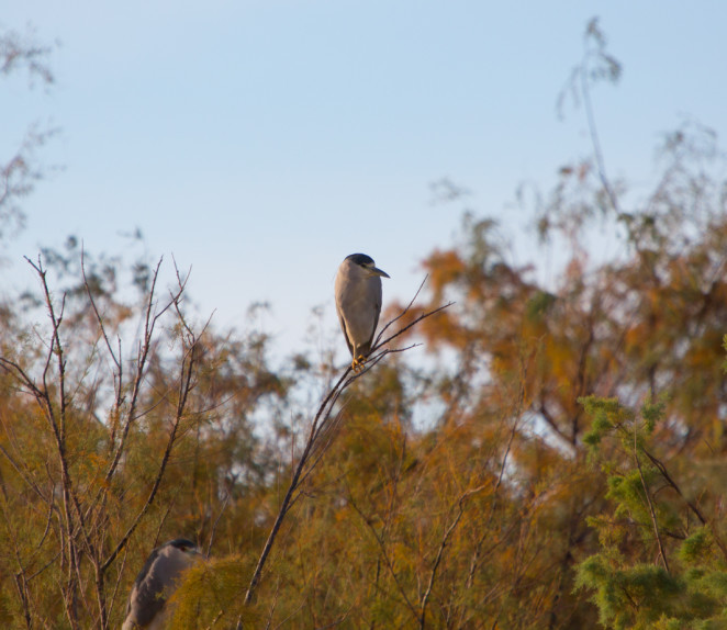 black crowned night heron-4