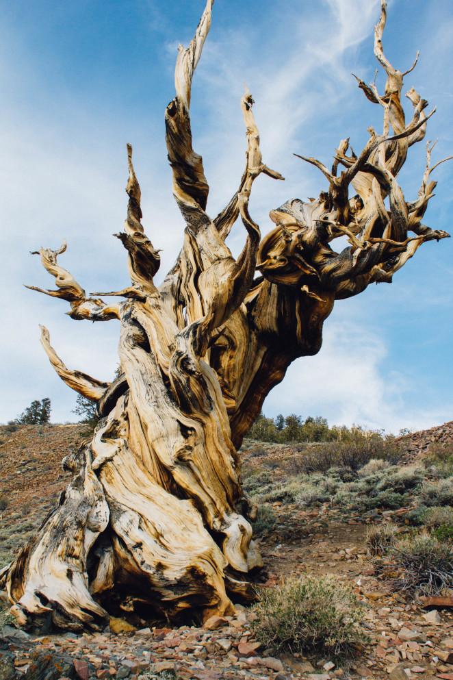 bristlecone pine forest-7